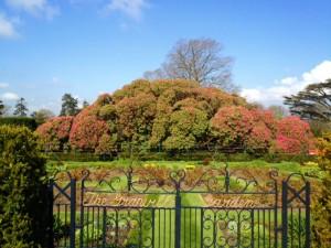 Rhododendron at Hillsborough Garden Festival