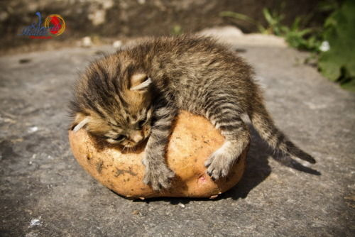 Pussy cat on a spud