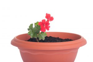 red geranium flowers in a pot isolated on white background