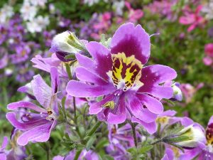 Schizanthus_wisetonensis_'Angel_Wings'_(Solanaceae)_flower